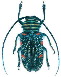 Zographus regalis  Location:Africa   Size:2.7 cm