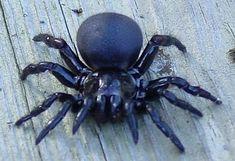 deadliest+spiders+in+the+world | Top 10 Very Deadliest Spiders
