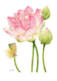 Pink Lotus Study Canvas Print