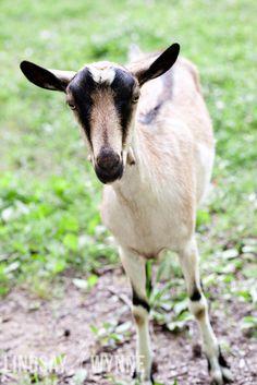 Nigerian Pygmy Goat. $25.00, via Etsy. by Lindsay Wynne Photography