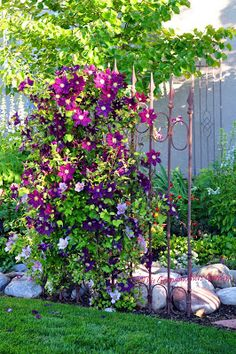 Clever use of an old iron gate: Jackmanii clematis climbs up and provides both a beautiful sight and privacy