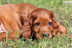 Meet Chester a cute Irish Setter puppy for sale for $650. Chester AKC CH