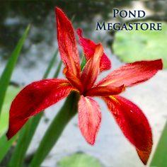 Red Iris (Iris fulva)