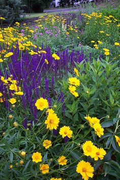 Coreopsis with Salvia   photo by pollyalida