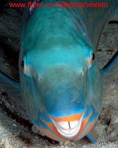 Parrot Fish sleeping.