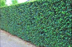 Portugese laurier is een populaire soort haagplant. Haagplanten.net heeft het beste assortiment haagplanten voor de beste prijzen. Welkom in onze shop!