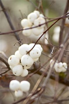 love berries on bare branches in winter