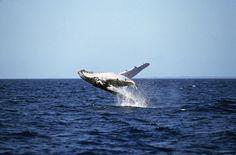 Queensland, Australia | Humpback whale breaching, Hervey Bay, Queensland, Australia photo