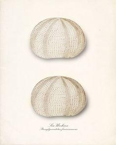 Vintage Sea Shell Art Print