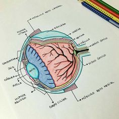 Educational Resources Human Body Teaching resources is part of Study notes - Eye Anatomy, Anatomy Study, Medicine Notes, Nursing School Notes, Nursing Schools, Medical School, Science Notes, Science Revision, Science Chemistry