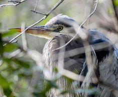 Great Blue Heron. #greatblueheron #birdsofinstagram #spring #gbbc #gbhe #protectwhatyoulove #nature #naturyst #charlestonsc #stoppedinmytracks #breedingplumage #wildlife #screenedbyfoliage