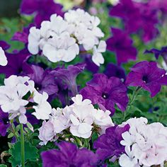 We've pulled together a grouping of our favorite annual plant pairings. Try them in your garden.