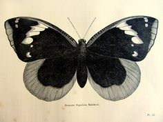 Antique butterfly print 1860 vintage by LyraNebulaPrints on Etsy