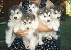 who doesn't want an armful of puppies? huskies are so cute :) love the blue eyes.