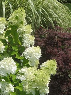 Limelight Pee Gee Hydrangea, Japanese Miniature Maple, (Cabaret) Variegated  Miscanthus ornamental grass.