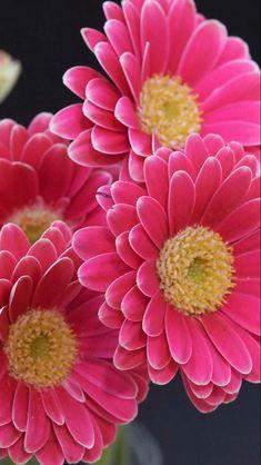 Freesia Flowers, Gerbera Flower, Pink Gerbera, Gerbera Daisies, Wax Flowers, Anemones, Pink Flowers, Unusual Flowers, Colorful Flowers