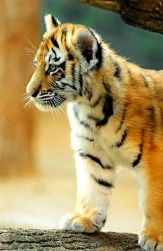 Our first submission from the Milwaukee County Zoo and it couldn't be better; two female tiger cubs born this summer made their debut earlier this month. Big Cats, Cats And Kittens, Cute Cats, Siamese Cats, Cute Baby Animals, Animals And Pets, Wild Animals, Beautiful Cats, Animals Beautiful