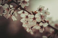 Last Spring by Jenny Rainbow. #Spring #FineArtPhotography #Sakura #SpringTime #WallArt #IdeasForHome #ArtForHome #Nostalgia #JennyRainbowFineArtPhotography #Cherry #CherryBlossom #HealingArt #Past