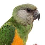 Chiclet Senegal Parrot, Online Pet Store, Pet Supplements, Parrot Bird, Exotic Birds, Bird Species, Wild Birds, Parrots, Your Pet