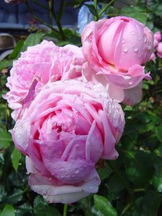 'Potter & Moore' | Shrub. English Rose Collection. David C. H. Austin, 1988 | Flickr - © debra