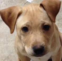 This is our pitbull/lab mix puppy, timbo.