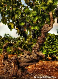 Beautiful ANCESTOR of a VINE.... Old Vine Shiraz in Barossa Valley Country #Australia