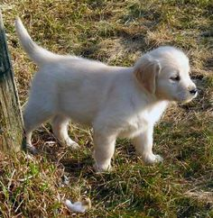 springtime puppy (Golden Retriever from Kyon Kennels - http://www.facebook.com/photo.php?fbid=10150629704533106&set=a.10150564251148106.382572.177264048105&type=3&theater)