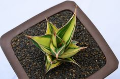 Sansevieria pinguicula variegated | by GREGORIUZ