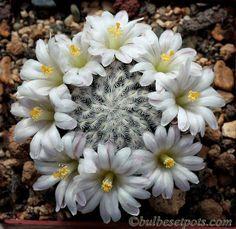 Mammillaria sanchez mejorada