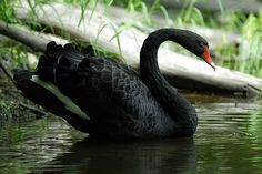 One of the Queen's rare Royal Black Swan's released into the Rideau River June 6th 2007. Ottawa's royal swans are descendants of six pairs that Ottawa received as gift from Queen Elizabeth to honour Canada's 100th birthday in 1967.