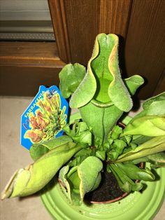 #carnivorousplant  #sarracenia