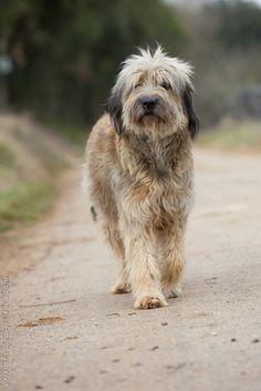 catalonian_sheepdog_0037.jpg 467×700 pixels