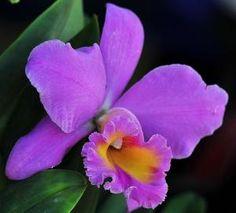 Purple cattleya orchids by antonia