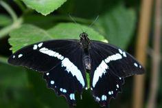 Narrow green-banded swallowtail