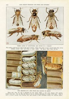 honey bee scientific illustration - Google Search