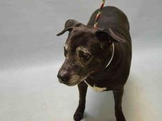 Super Urgent Brooklyn - NEGRA - #A1101576 - SPAYED FEMALE BLACK WHITE LABRADOR RETR/AM PIT BULL TER, 8 Yrs - OWNER SUR - EVALUATE, HOLD FOR ID Reason LLORDPRIVA - Intake 01/14/17 Due Out 01/17/17 - NERVOUS BUT ALLOWED HANDLING