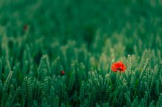 #1918427, poppy category - free wallpaper and screensavers for poppy
