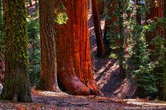 Sequoia National Park – California - U.S.A. / by Alessandro Borgogno