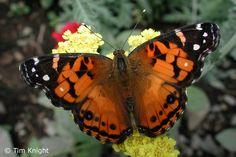 American Lady (Vanessa virginiensis) - butterfly
