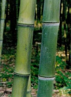 Giant timber bamboo plant Phyllostachys atrovaginata hardy to -15f. would work well in michigan/zone 5 for timber, use with wet conditions (like water bamboo), edible shoots, good for crafts, furniture making, construction, quick growing/spreading.
