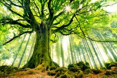 What an amazing photograph of a historic tree, located in Brocéliande forest, in Bretagne (France).