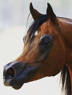 Egyptian Arabian Horses, Beautiful Arabian Horses, Horses And Dogs, Horse Drawings, Arabian Nights, Horse Love, Horse Breeds, Zebras, Stables