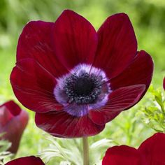 Anemone Bordeaux. A fabulous anemone with deep red petals and a purple heart. The cupped flowers are beautifully shaped and flutter like poppies in the wind.