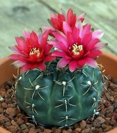 When you have identified your cactus type, you have to create the most suitable atmosphere for it. An assortment of cactus house plants appear good together. There are several different kinds of cactus combo bonsai plants. Flowering Succulents, Cacti And Succulents, Planting Succulents, Planting Flowers, Cactus With Flowers, Potted Flowers, Desert Flowers, White Flowers, Ikebana