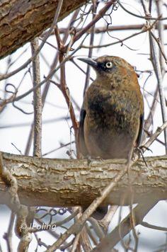 Rusty Blackbird, Swannanoa, NC