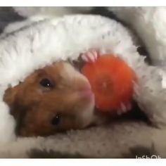 Cute Little Animals, Cute Funny Animals, Cute Dogs, Cute Babies, Cute Animal Videos, Cute Animal Pictures, Beautiful Creatures, Animals Beautiful, Cute Hamsters