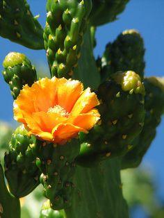 blooming cactus - Jardin Exotique, Monaco.