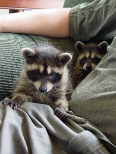 Raccoons - Album on Imgur