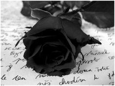 "From Garcia to Sia. With a note saying "" Mi Rosa Negra"".- my black rose Purple Love, All Things Purple, Purple Rain, Shades Of Purple, Deep Purple, Dark Purple Roses, Deep Burgundy, Black Rose Flower, Black Flowers"