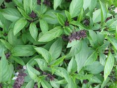 Thai Basil - wish someone would create a perfume with this scent!